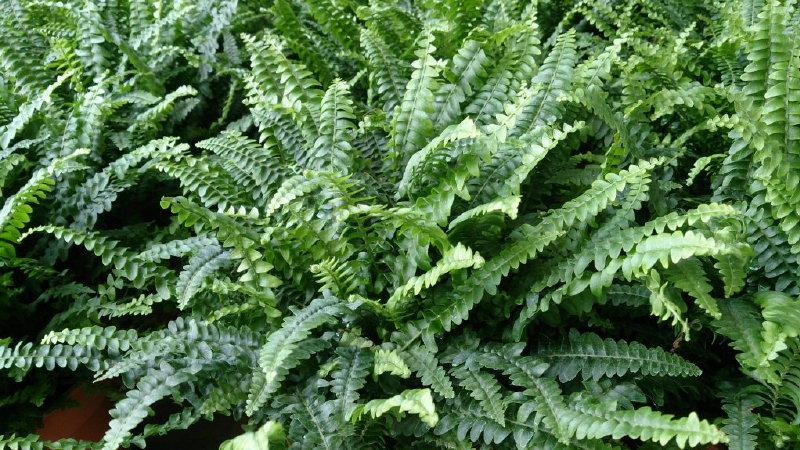 boston fern bathroom plant